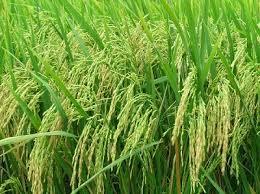 Đề bài: Thuyết minh về cây lúa nước Việt Nam