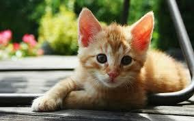 Đề bài: Thuyết minh về một con mèo