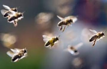 Tuần 13: Chính tả Hành trình của bầy Ong